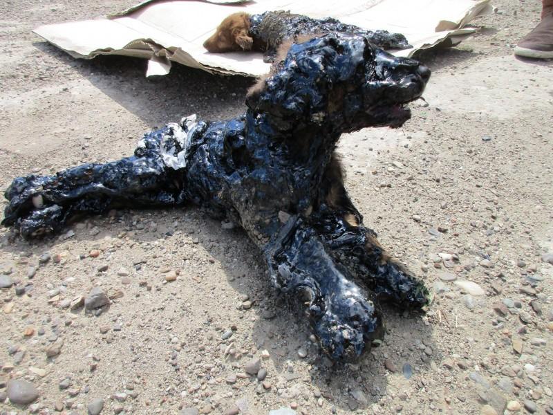 Risultati immagini per cuccioli cosparsi di catrame