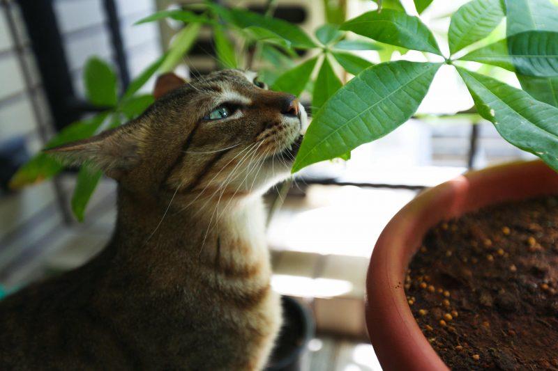 Gatto che annusa le foglie di una pianta in vaso