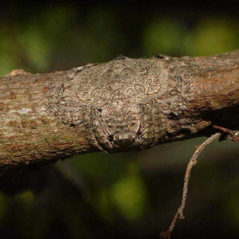 Ragno mimetizzato su un ramo