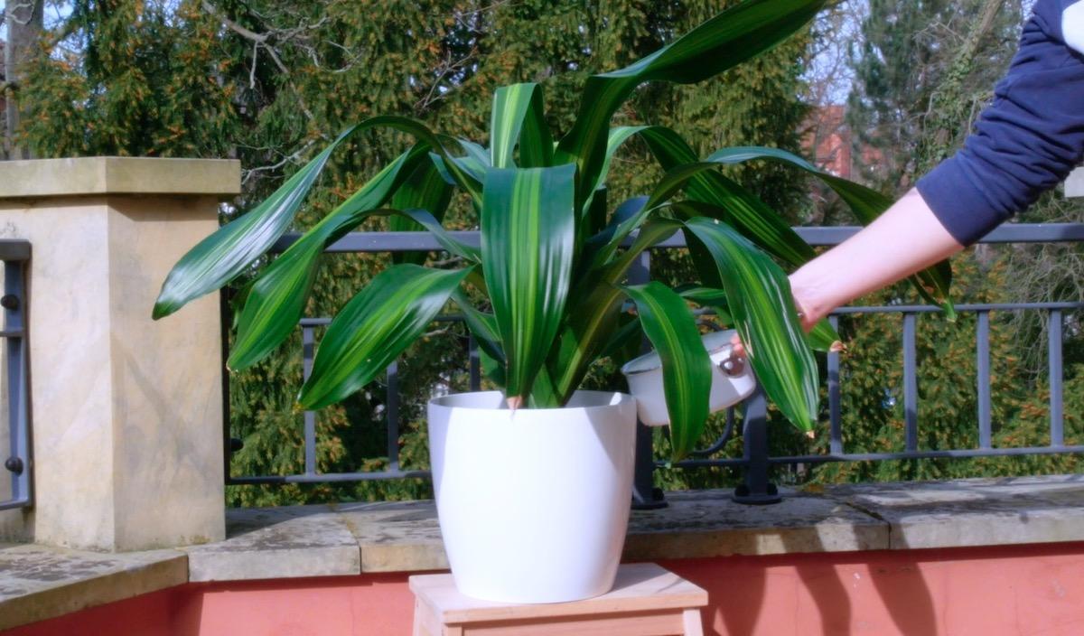 Acqua delle uova sode per le piante in vaso
