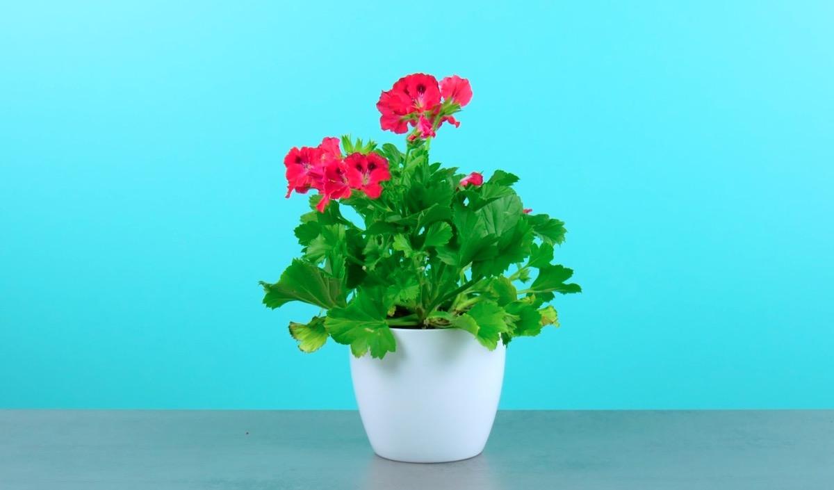 Cura delle piante con fiori